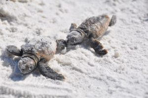 turtle hatchlings sand