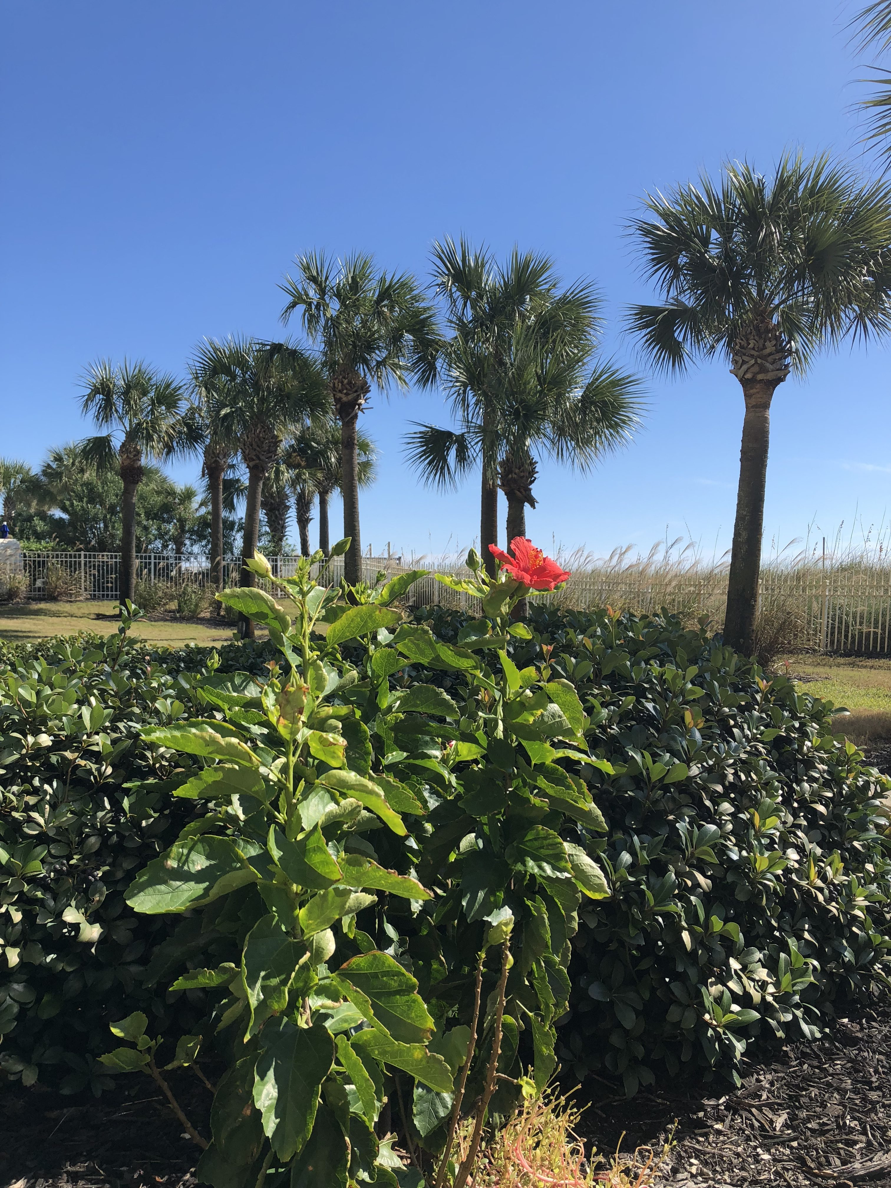 Hibiscus and palms at Sandnsol Destin oceanfront condo jade east