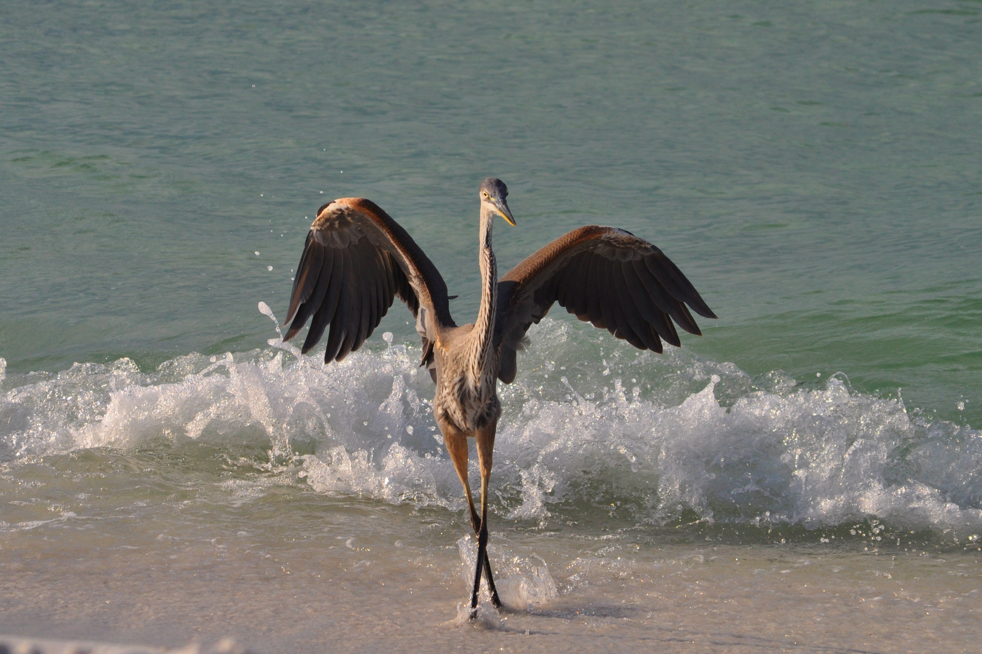 dancing crane on Destin white sand beach