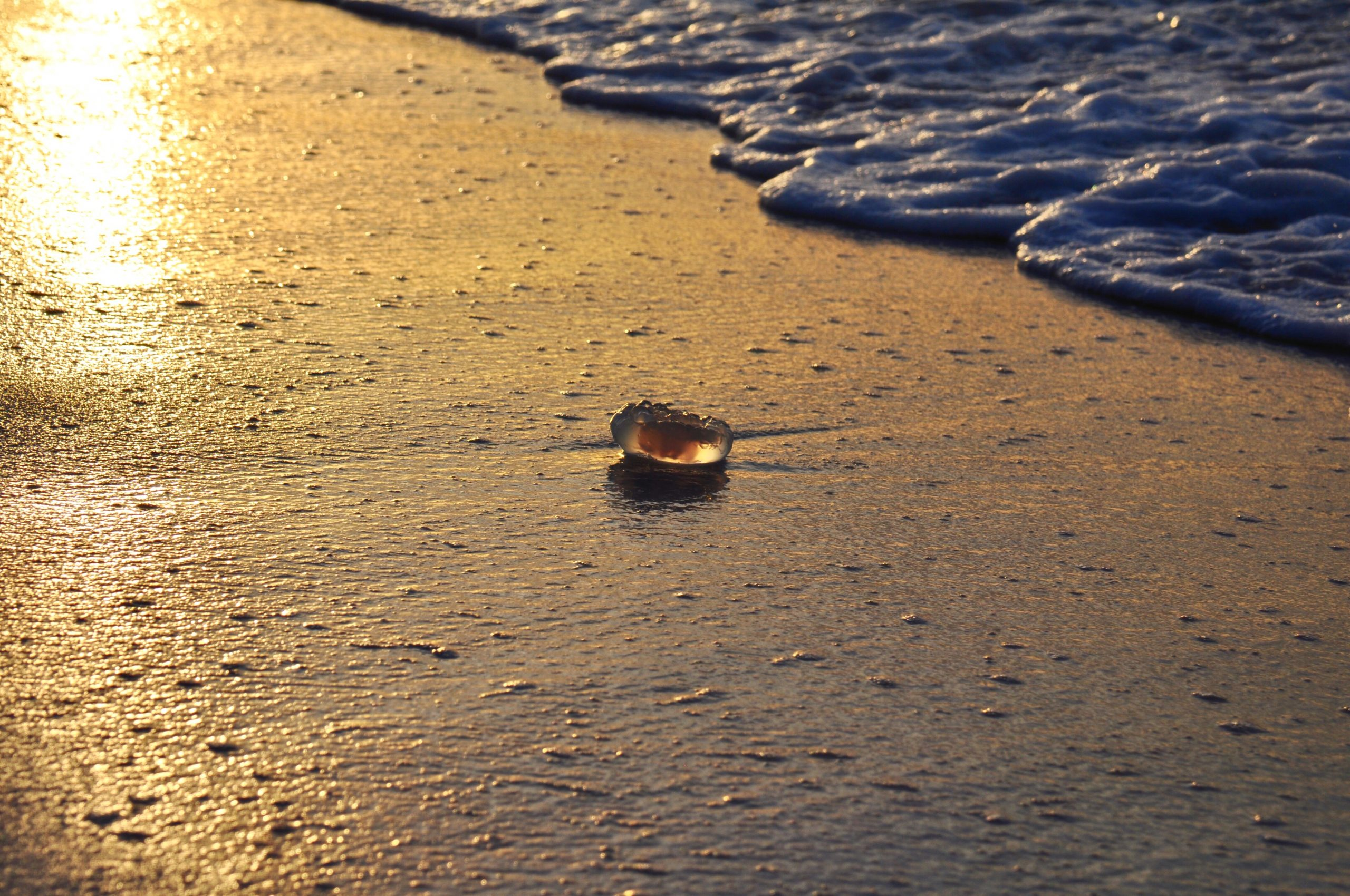 Moon jelly at sunrise in Destin